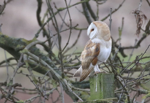 Barn Owl at Etherley Moor