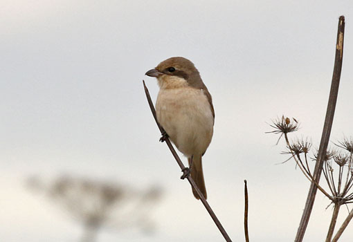 Daurian Shrike at South Shields, South Tyneside