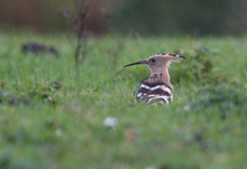 Hoopoe at Gaunless Flats 2013