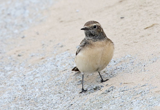 Pied Wheatear at Redcar, Teesside