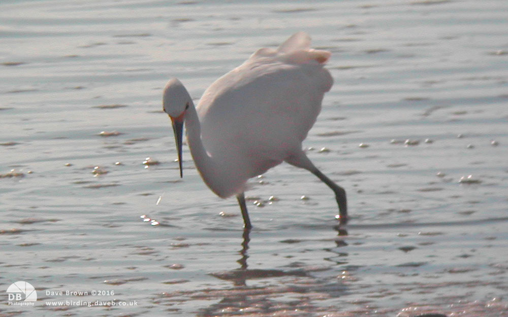 Snowy Egret at Caerlaverock, September 2002