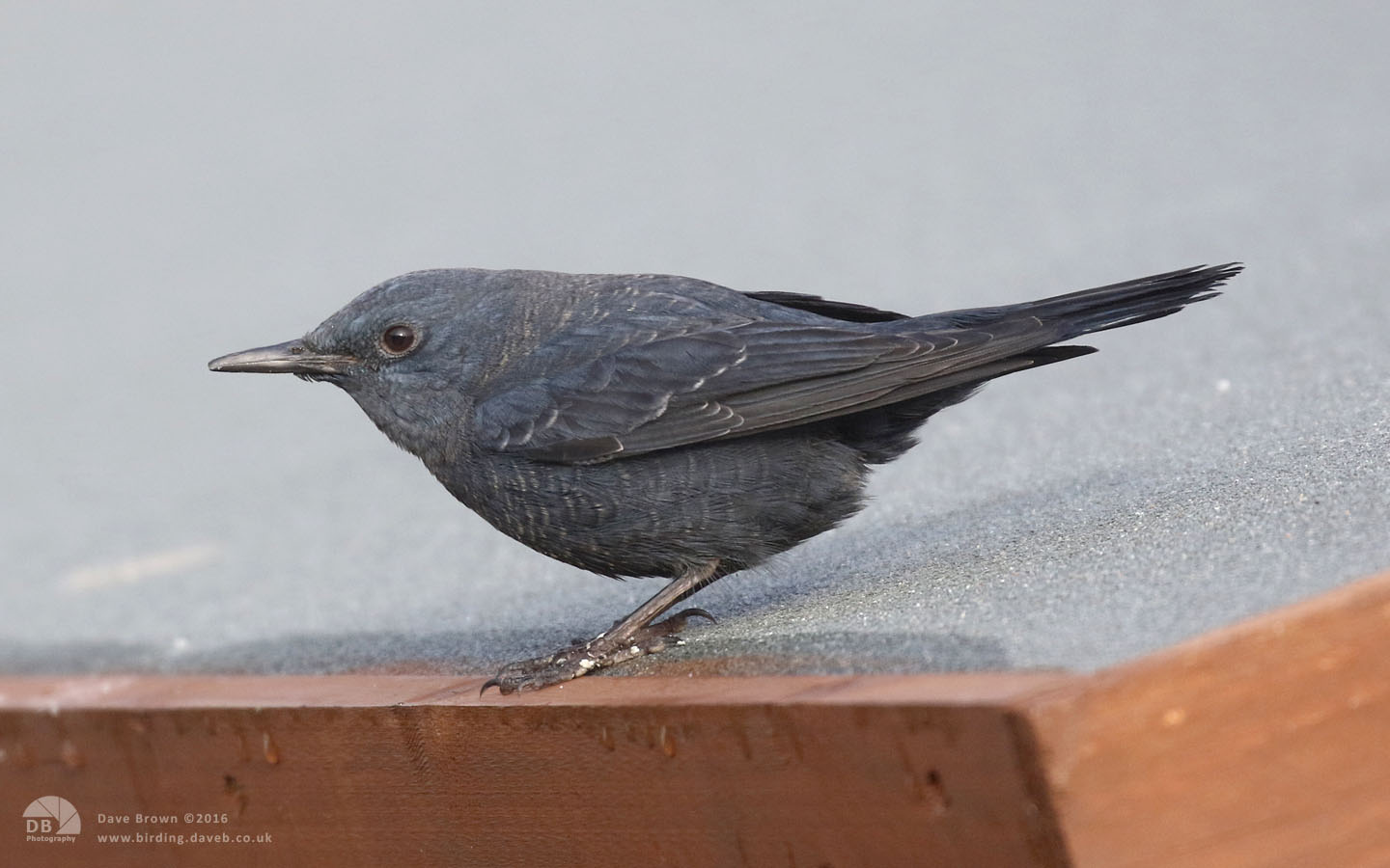 Blue Rock Thrush at Stow on the Wold, 30th December 2016