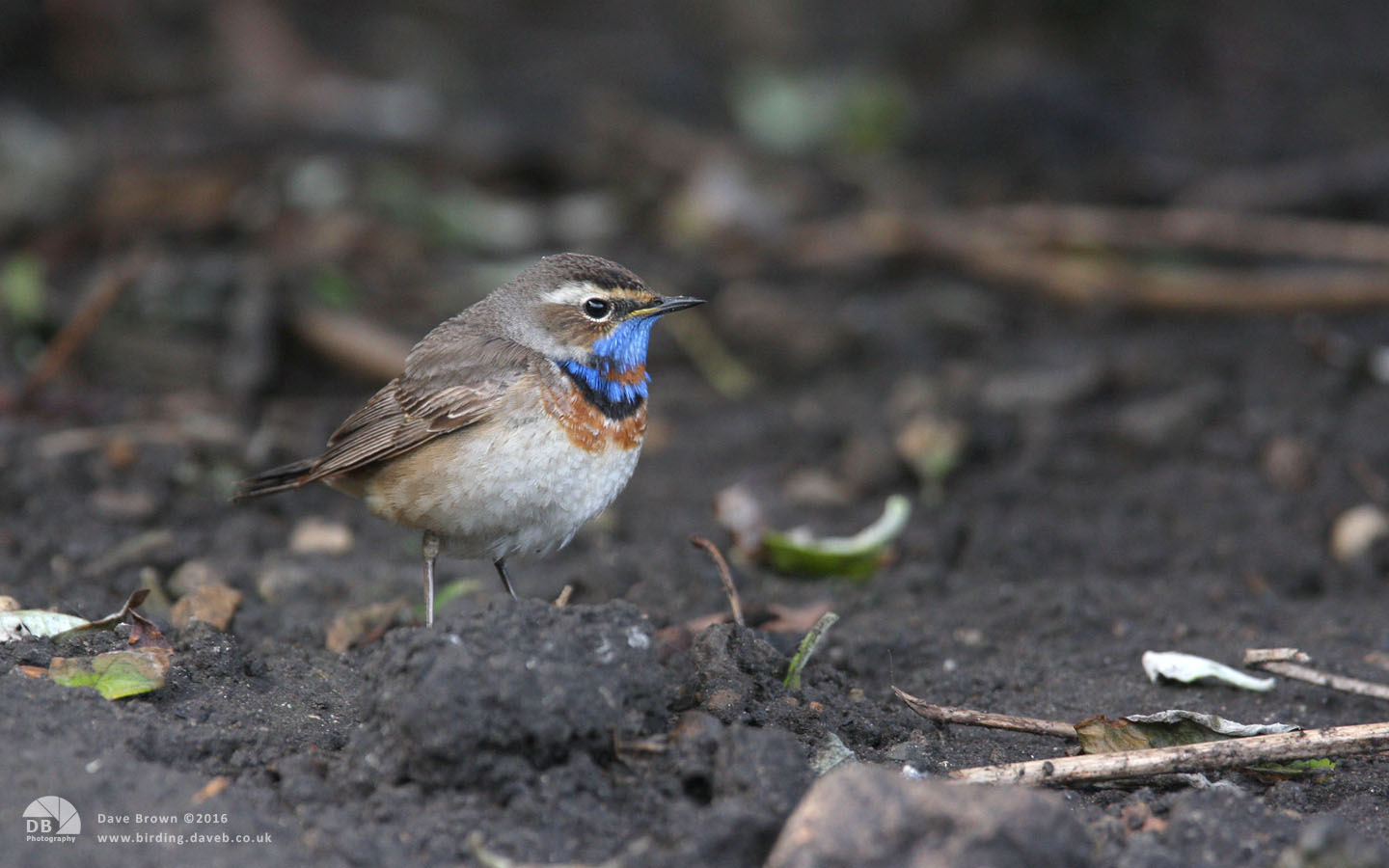 Bluethroat at Hartlepool Headland, 11th May 2012