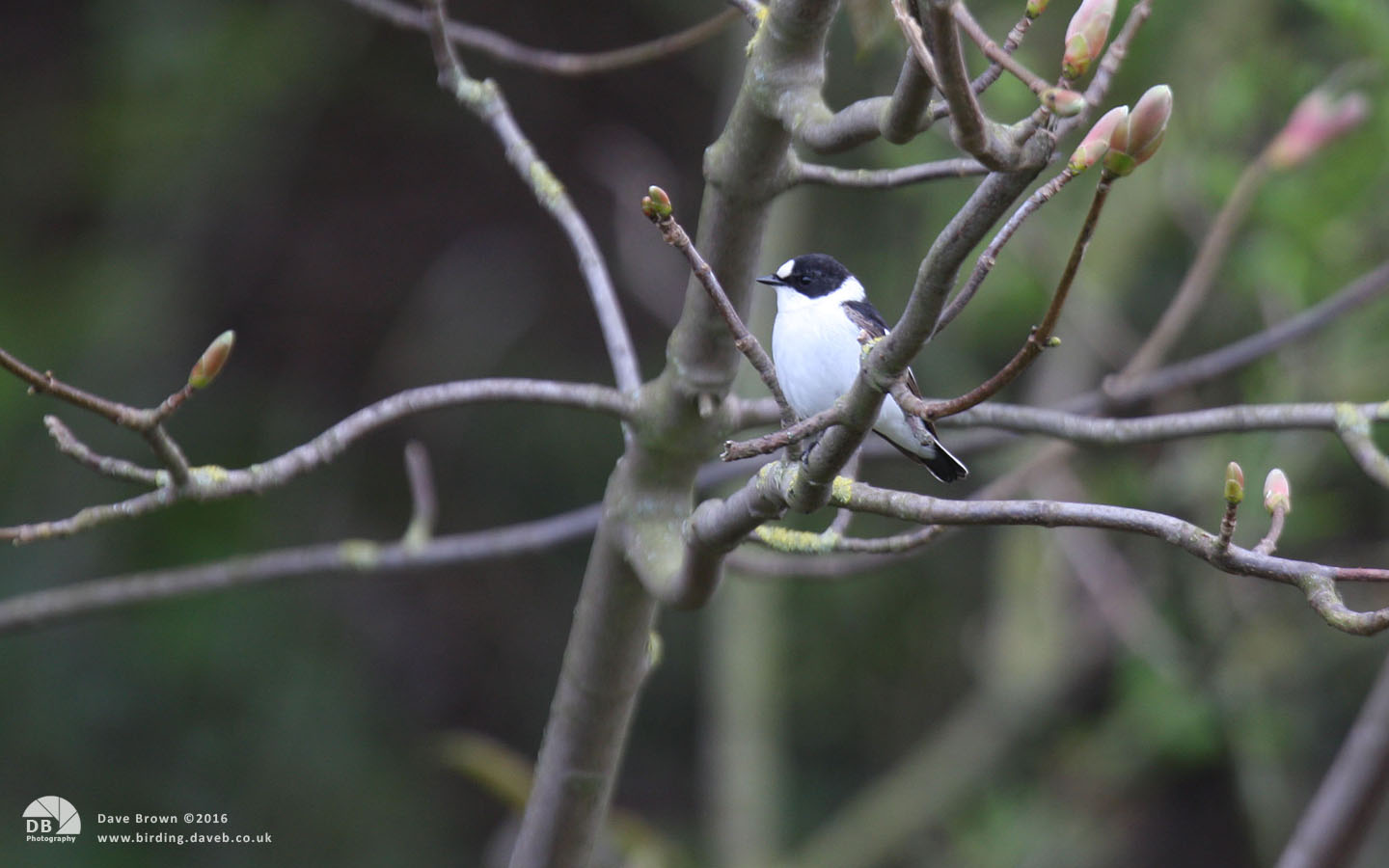 Collared Flycatcher at Low Newton, 9th May 2013