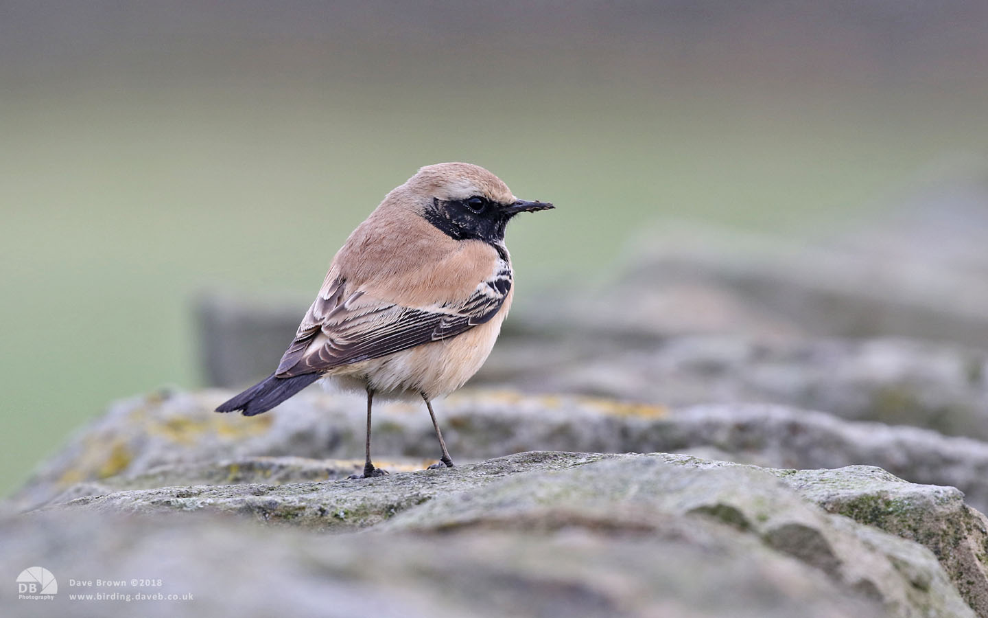 Desert Wheatear at Whitby, 4th January 2018