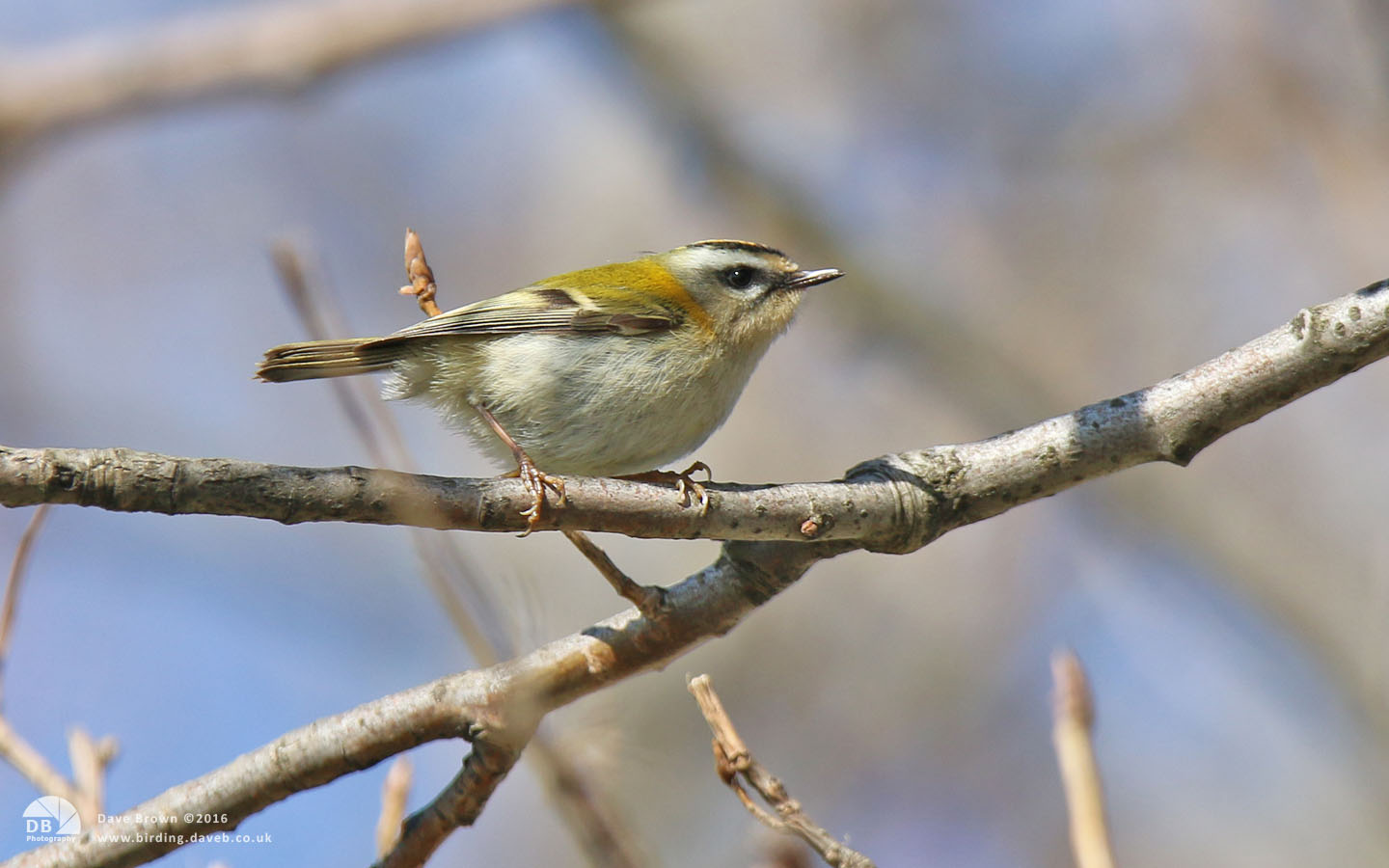 Firecrest at Hartlepool Headland, 7th April 2015