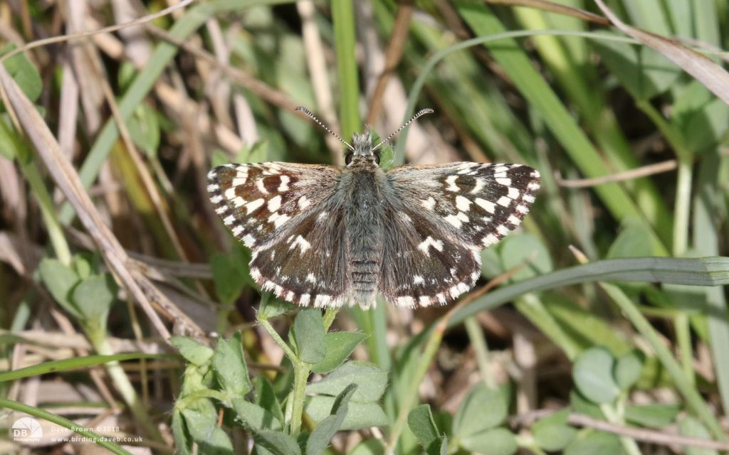 Grizzled Skipper at Twyford Wood, 17th May 2018