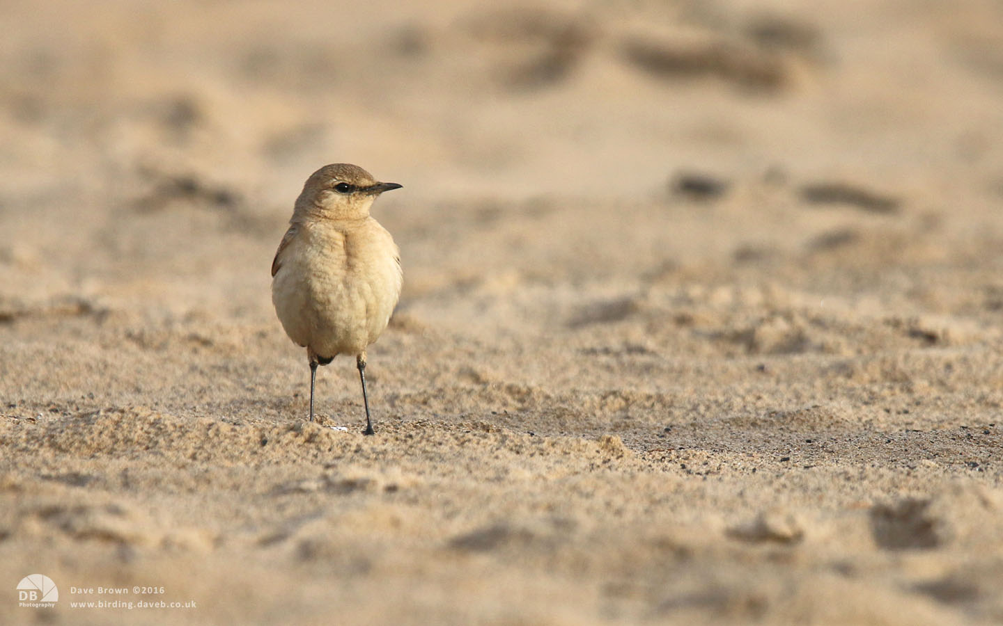 Isabelline Wheatear at Seaton Snook, 24th November 2014