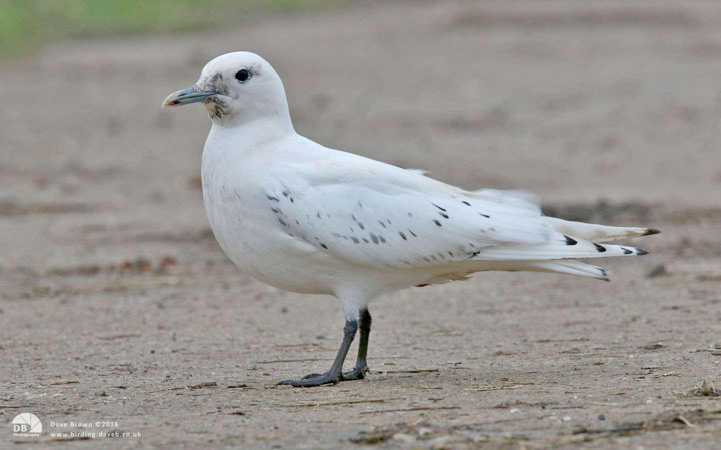Ivory Gull at Patrington Haven, 23rd December 2013