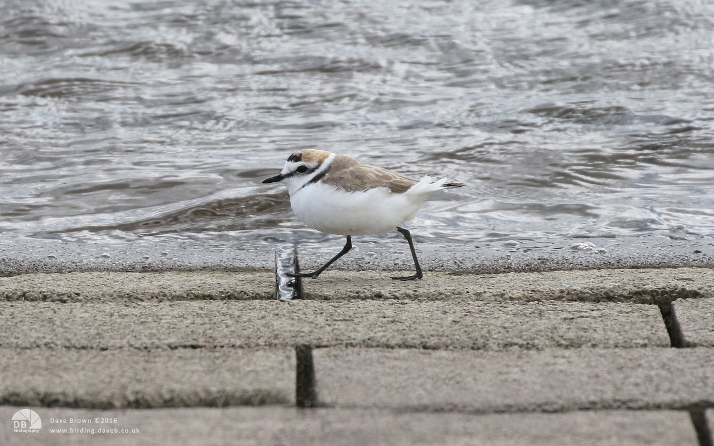 Kentish Plover at Audenshaw Reservoir, 26th April 2016