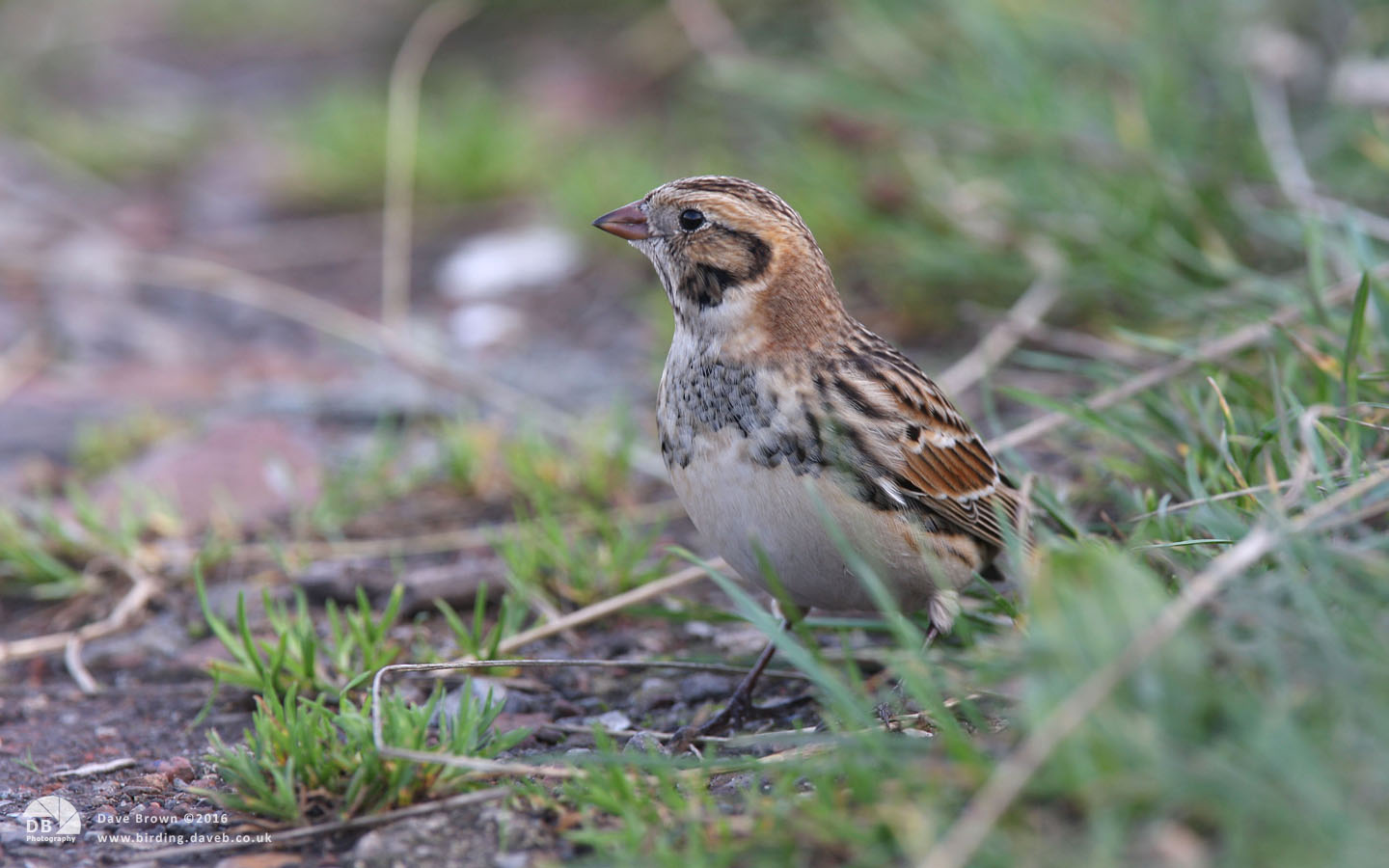 Lapland Bunting at South Gare, 25th October 2009