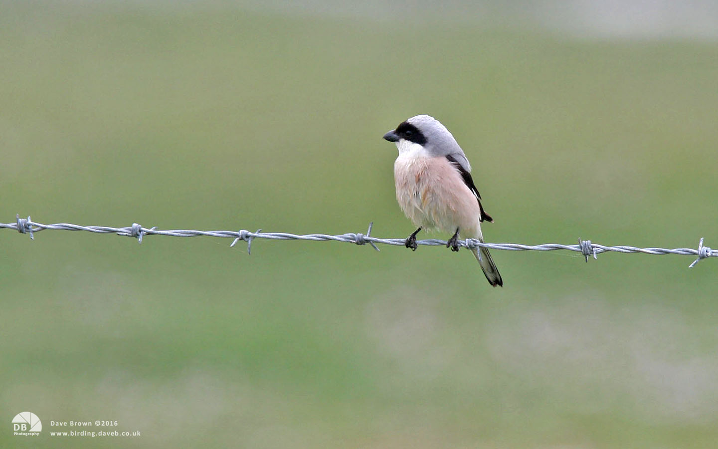 Lesser Grey Shrike at Long Nanny, 5th June 2008