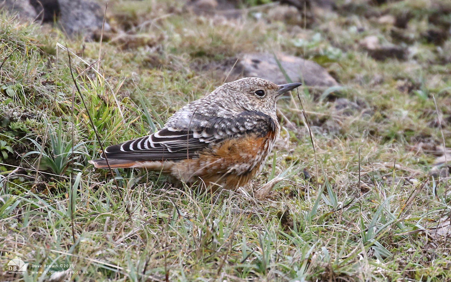 Rock Thrush at Blorenge in Gwent, 22nd October 2017