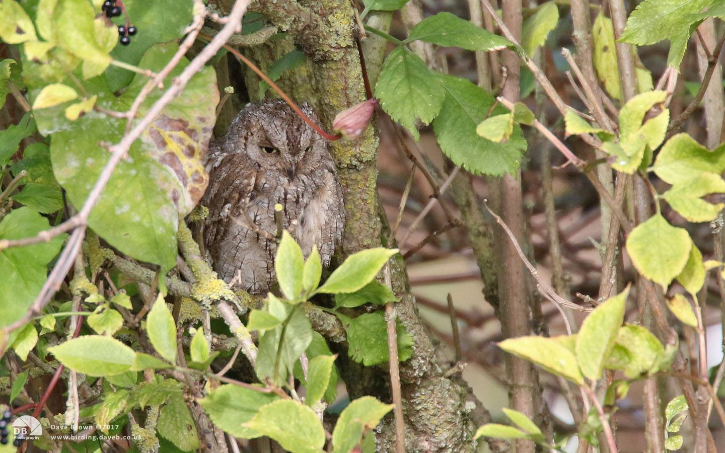 Eurasian Scops Owl at Ryhope, 30th September 2017