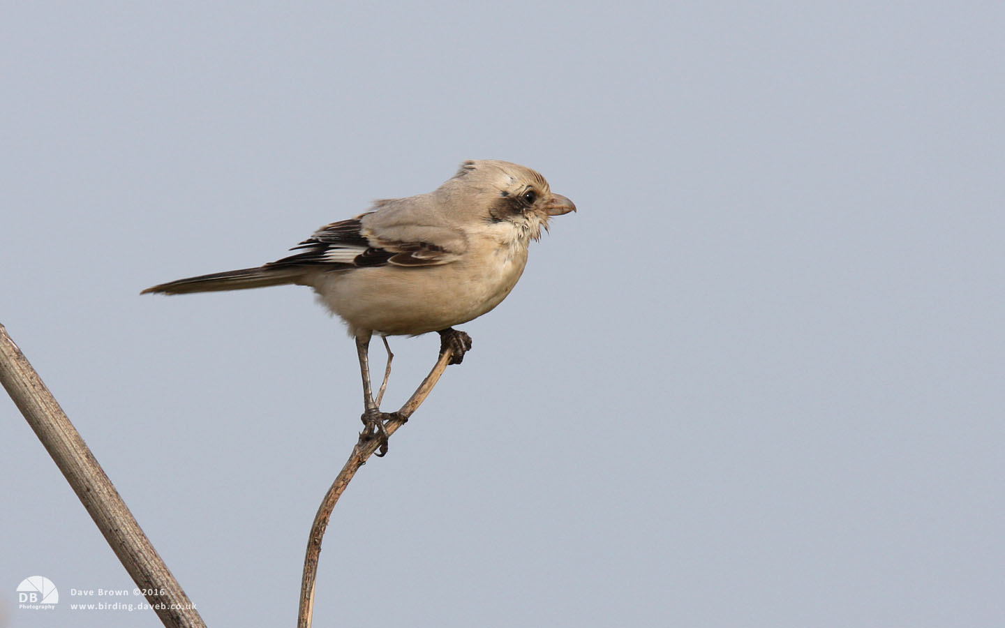 Steppe Grey Shrike at Grainthorpe, 8th November 2008