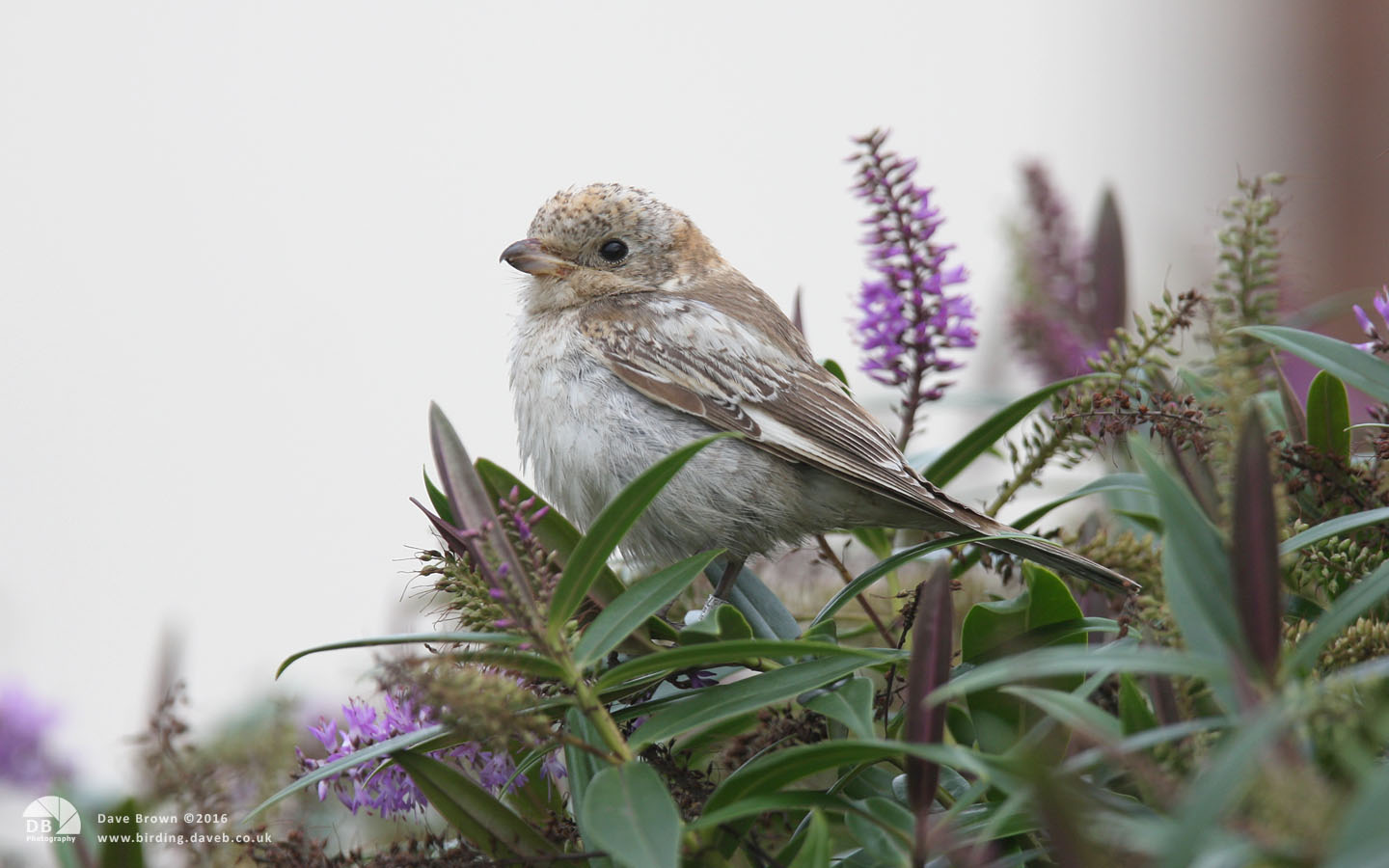 Woodchat Shrike at Hartlepool Headland, 2nd October 2010