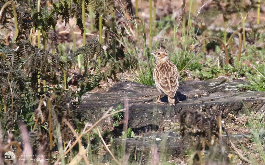 Woodlark at Kelling Heath, 19th May 2018