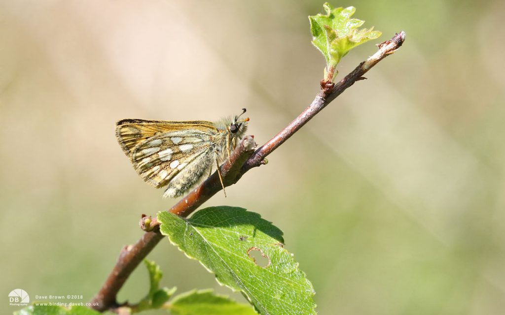 Chequered Skipper at Glasdrum Wood, 25th May 2018