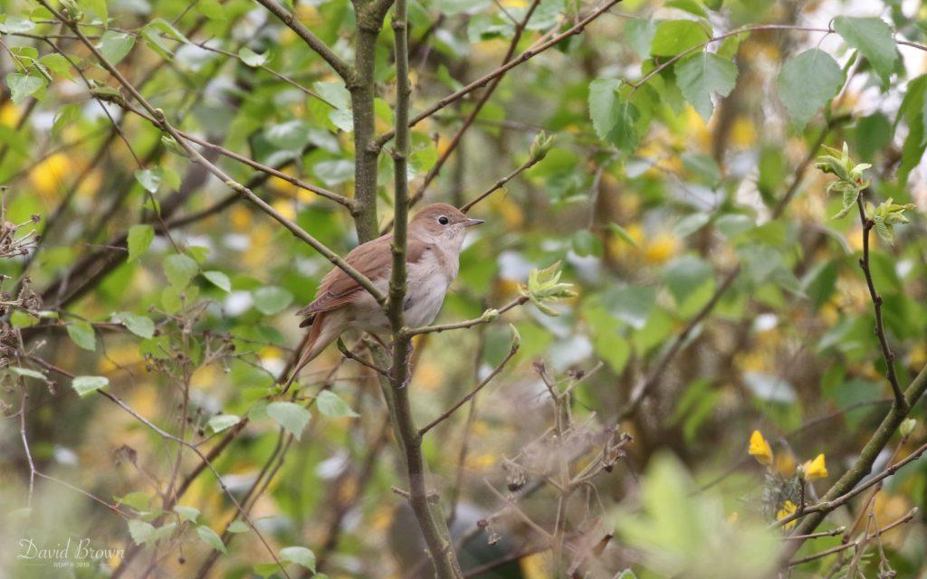 Nightingale at Westleton Heath, 1st May 2019
