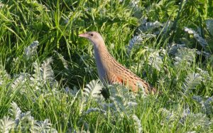 Corncrake at North Uist, 20th May 2019