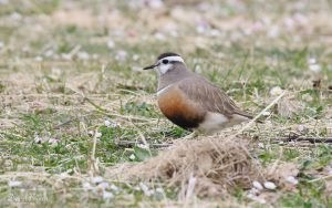 Dotterel at North Uist, 19th May 2019