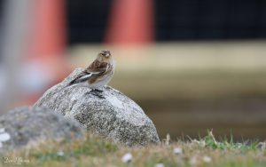 Twite at Harris, 18th May 2018