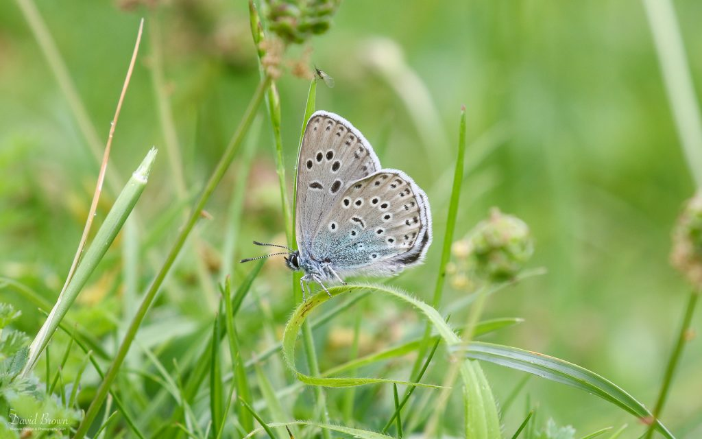 Large Blue at Green Down NR