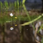 Water Crowfoot at Etherley Moor, 17th July 2016