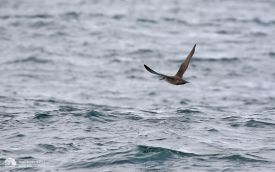 Balearic Shearwater off Penzance, 12th August 2017