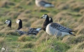 Barnacle Goose at Snettisham, 3rd March 2007