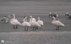 Bewicks Swans at Bishop Middleham, 20th January 2004