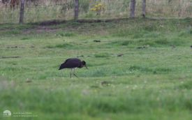 Black Stork at Greenside, 9th August 2008