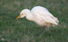 Cattle Egret at Cardoness, 6th January 2008