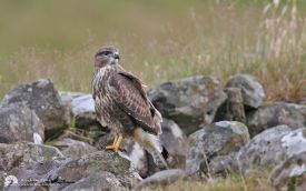 Common Buzzard at Kilmuir, 2nd August 2007