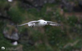 Fulmar on the Isle of Lunga, 30th May 2012