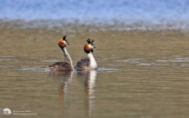 Great-crested Grebe at Leighton Moss, 4th May 2015