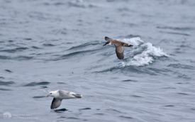 Great Shearwater off Penzance, 12th August 2017