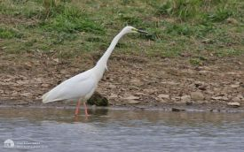 Great White Egret at Hauxley, 9th May 2013