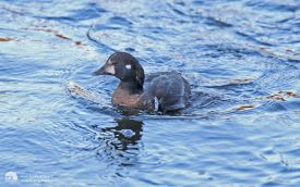 Harlequin Duck at Aberdeen, 8th January 2015