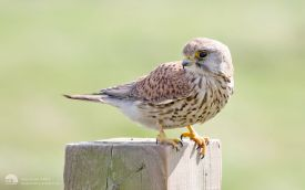 Common Kestrel at North Gare, 15th April 2017