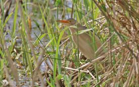 Little Bittern at Elton Reservoir, 26th May 2014