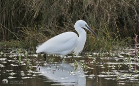 Little Egret at Seaton Common, 6th December 2015