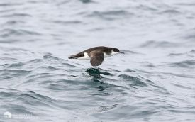 Manx Shearwater off Penzance, 12th August 2017