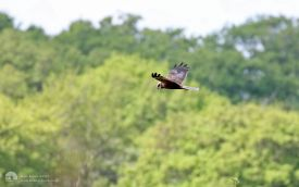 Marsh Harrier at Hickling broad, 20th May 2017