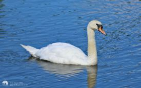 Mute Swan at Low Barns, 1st August 2015