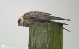Red-footed Falcon at Ythan, September 2003