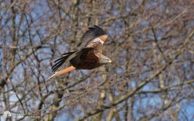 Red Kite at Far Pasture, 3rd April 2013