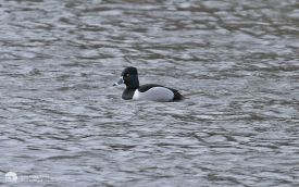 Ring-necked Duck at Low Barns, 28th February 2007