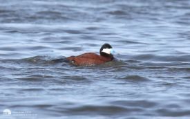 Ruddy Duck at Swallow Pond, 19th April 2008
