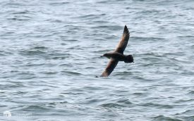 Sooty Shearwater of the Bridlington coast, 9th September 2006